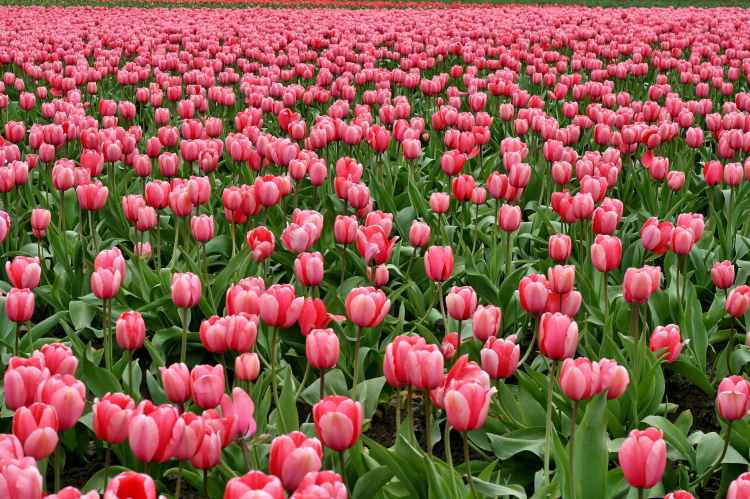 tulips-flowers-fish-eye-red-66896.jpeg